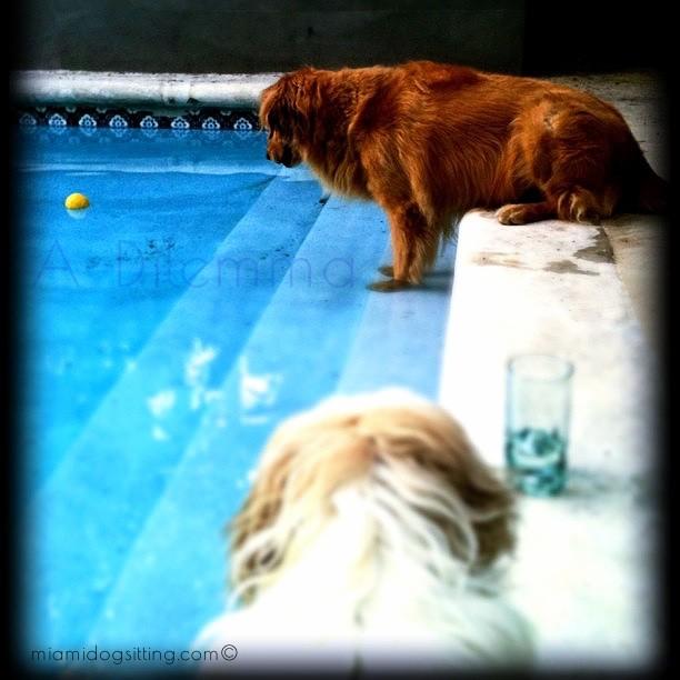 Miami's Fun Holistic Home Boarding & Daycare roam free kennel free dog boarding #DogsAreCool dogs miamidogsitting.com boarding