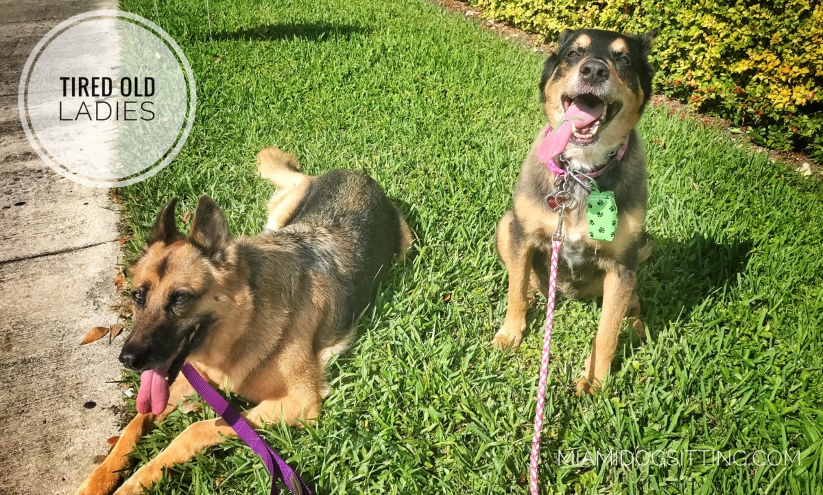 Miami's Fun Holistic Home Boarding & Daycare miamidogsitting.com miami boarding dog walker dog boarding cage free
